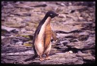 Adélie penguin and mud on South Orkney Islands
