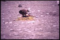 Bird near Skua carcass at Gold Harbour