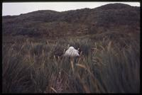 Albatross perched in high grass at Prion Island