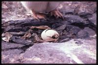 Adélie penguin egg hatching