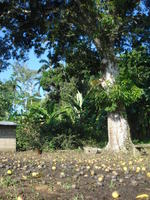 A chicken stands under a mango tree in the town center, El Plátano, Panama