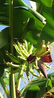 Bananas growing on a tree in El Plátano, Panama