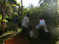 Three men cut down a tree in El Plátano, Panama