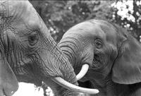 Adult and baby elephant in a zoo